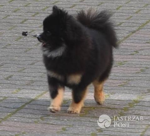 Pies Kingi Rusin